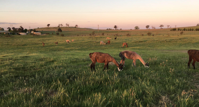 One Tree Hill Alpaca Farm